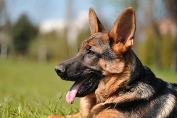 German Shepherd Puppy - Dog Breeders