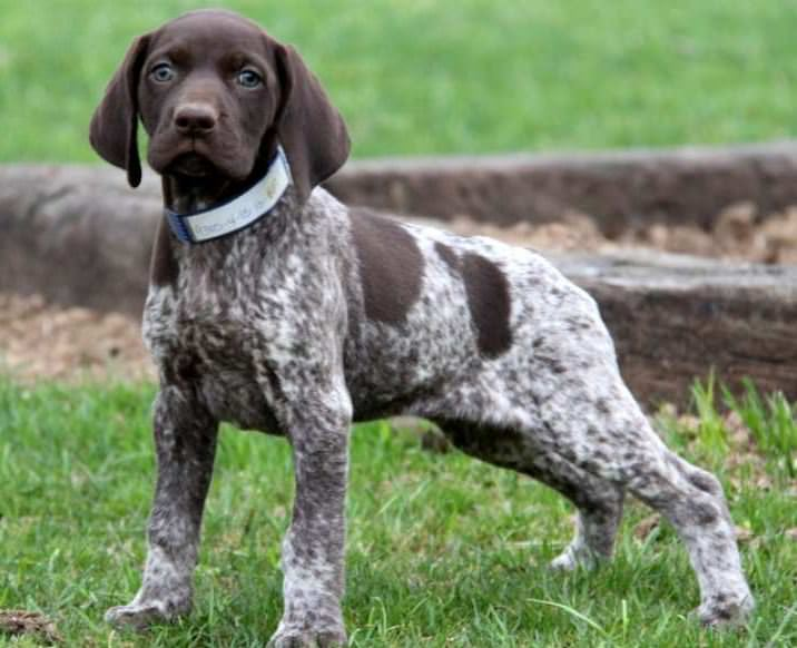 German Shorthaired Pointer Dogs and Puppies