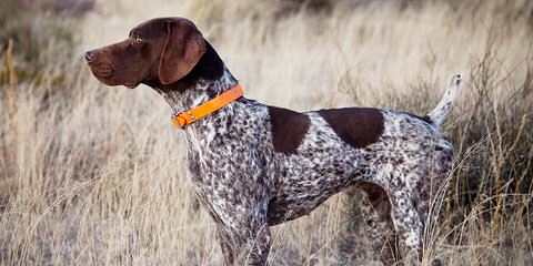 Breeding The Versatile Gsp Since 1972 - Dog Breeders