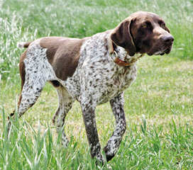 Beautiful German Shorthair - Dog Breeders