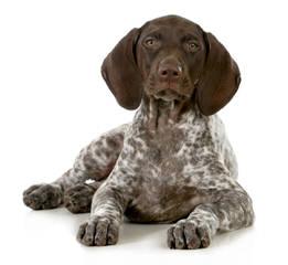 German Short Hair Pointers - Dog Breeders