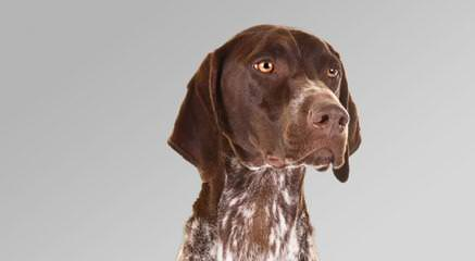 German Shorthair Pointer - Dog Breeders
