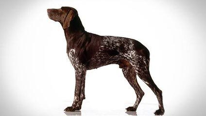 Akc German Shorthair Puppies - Dog Breeders
