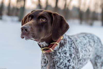 German Shorthair Pointer - Dog Breeders