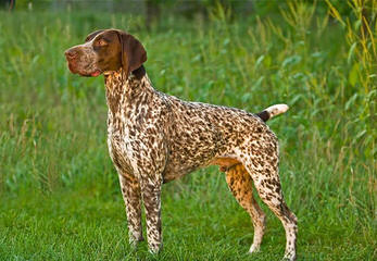 German Wirehaired Pointers - Dog Breeders