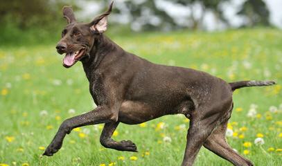 Breeding The Versatile Gsp Since 1972 - Dog Breeders