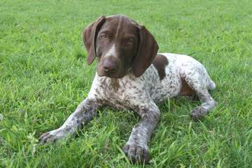 Dual Quality Gsp Puppies - Dog Breeders