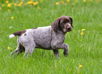 German Shorthaired Pointers - Dog Breeders