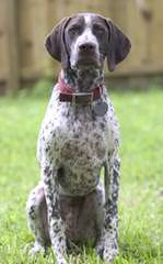 Hunting Dog Trainer.Net - Dog Breeders