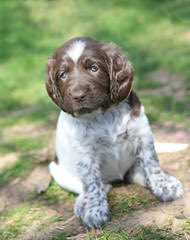 German Shorthair Pups – Hof Lineage - Dog Breeders