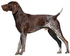 German Shorthair Pups! - Dog Breeders