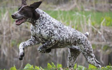 German Shorthair Pups! - Dog Breeders