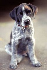 Niagara Shorthairs - Dog Breeders