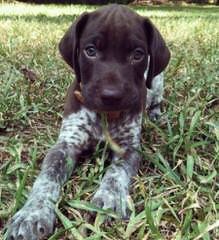 Niagara Shorthairs - Dog and Puppy Pictures