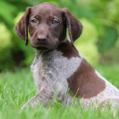 Panhandle Pointers - Dog Breeders