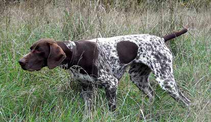 German Shorthaired Puppies - Dog Breeders