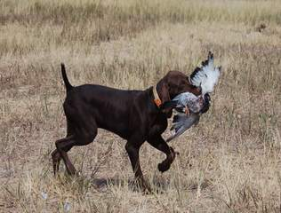 Panhandle Pointers - Dog and Puppy Pictures