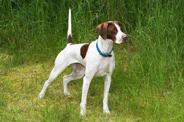Akc German Shorthair Pointers - Dog Breeders