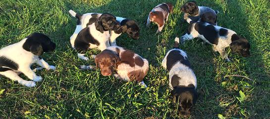 Gunrunner's Registered Gsp Puppies - Dog Breeders