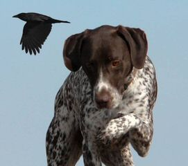 South Mountain German Shorthaired Pointers - Dog Breeders