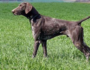 German Shorthaired Puppies - Dog Breeders