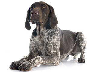 German Shepherds of Munster Abbey LLC - Dog Breeders