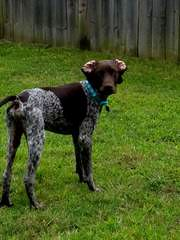 German Short Hair Pointer Puppies - Dog Breeders