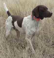 Akc German Shorthair Puppies - Dog Breeders