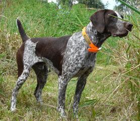 German Short Hair Pointer Puppies - Dog Breeders