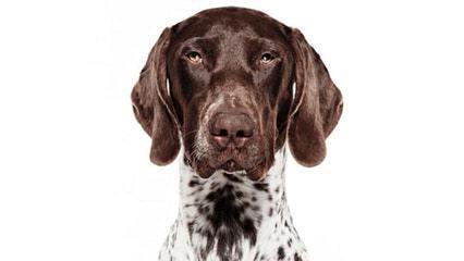 German Shorthair Puppies - Dog Breeders