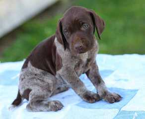 Gsp Litter- Only Three Left! - Dog Breeders