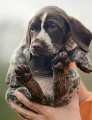 Breeding The Versatile German Shorthaired Pointer Since 1972 - Dog Breeders