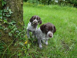 Akc German Shorthair Pointers - Dog Breeders