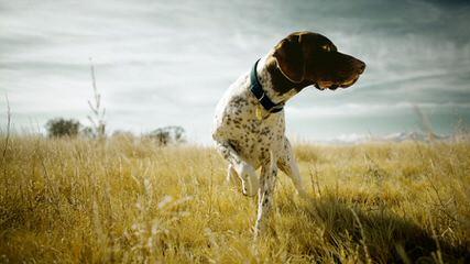 Akc Registered German Shorthair Pointer Puppies - Dog Breeders