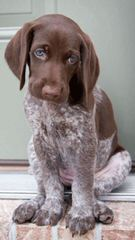 German Shorthair Puppies - Dog Breeders