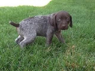 Akc Registered German Shorthair Pointer Puppies - Dog Breeders