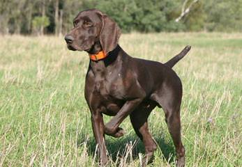 Niagara Shorthairs - Dog Breeders