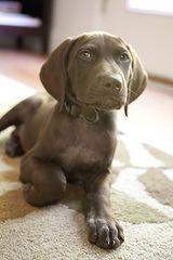 German Shorthaired Pointer Puppies - Dog Breeders