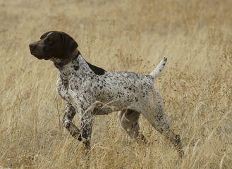 German Shorthaired Pontiers Top Akc Bloodlines - Dog Breeders