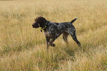 Sierra Gold Kennels - Dog Breeders