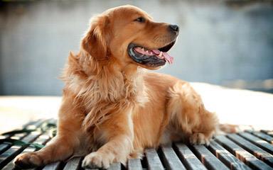 Castlefin Golden Retrievers - Dog Breeders