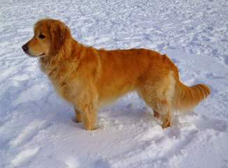 Avilys Golden Retrievers - Dog and Puppy Pictures