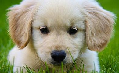 Good as Gold Retrievers - Dog Breeders