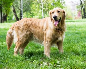 Cindy's Golden Nuggets - Dog Breeders