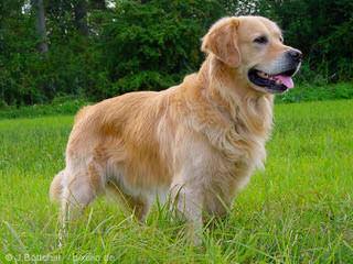 Carsher Goldens - Dog Breeders