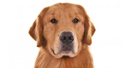 Avilys Golden Retrievers - Dog Breeders