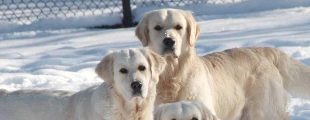 Mapleleaf English Cream Golden Retrievers - Dog Breeders