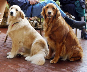 Faded Ash English Golden Retrievers - Dog Breeders