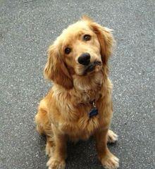 Carolot Golden Retrievers - Dog Breeders