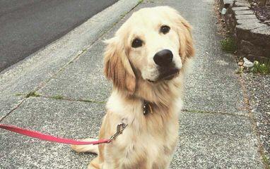 Seascape Golden Retrievers - Dog Breeders